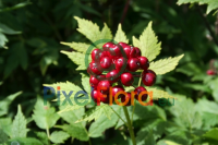Actaea erythrocarpa (Asian Red Baneberry)