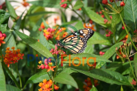 Asclepias curassavica (Mexican Butterfly Milkweed) with Monarch