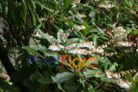 Clethra arborea (Madeira Lily of the Valley Tree)