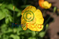 Meconopsis cambrica (Yellow Welsh Poppy)