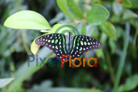 Graphium agamemnon (Tailed Jay Butterfly)
